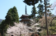 Daigo-ji in Kyoto during the Cherry Blossom Season! A video tour!