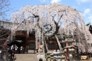 Weeping Sakura in Himuro Shrine in Nara!