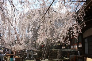 Sakura-Cherry blossom viewing! Best of the best 2011! Kyoto and Nara