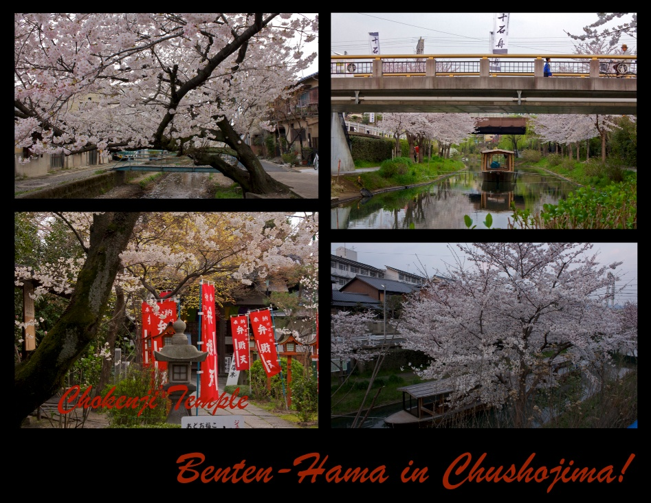 Cherry Blossoms in Chushojima, Kyoto!