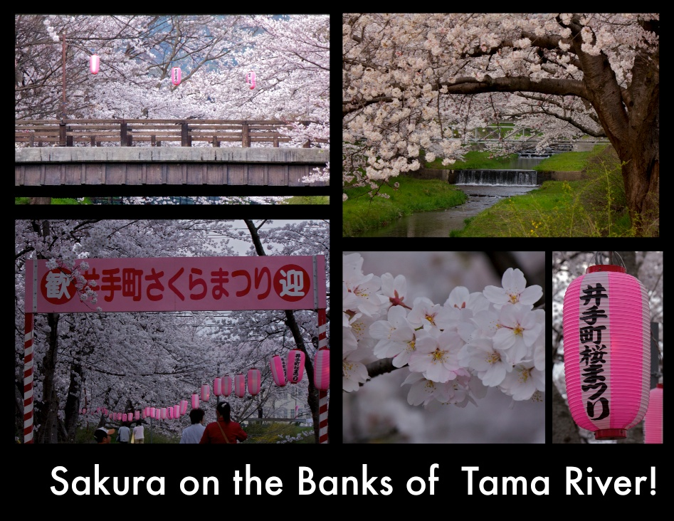Sakura on The Banks of the Tama River!